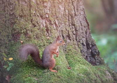 Red Squirrels Around Brahan